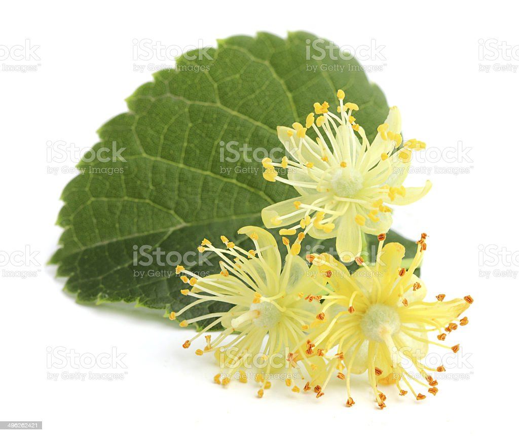 Linden flowers. stock photo