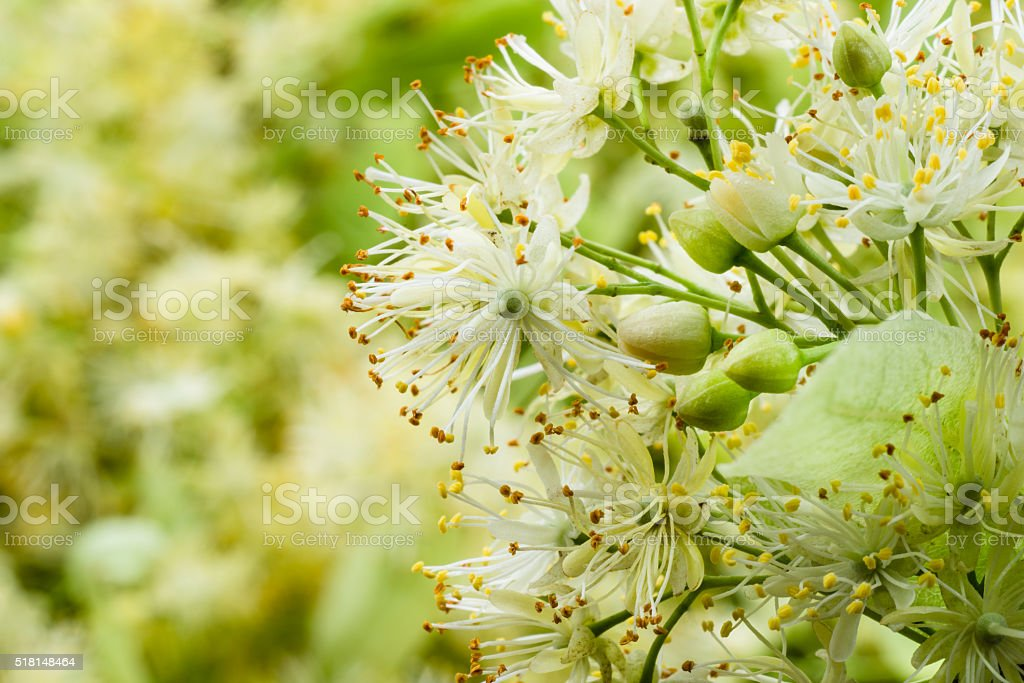 Linden flowers. Soft focus. stock photo
