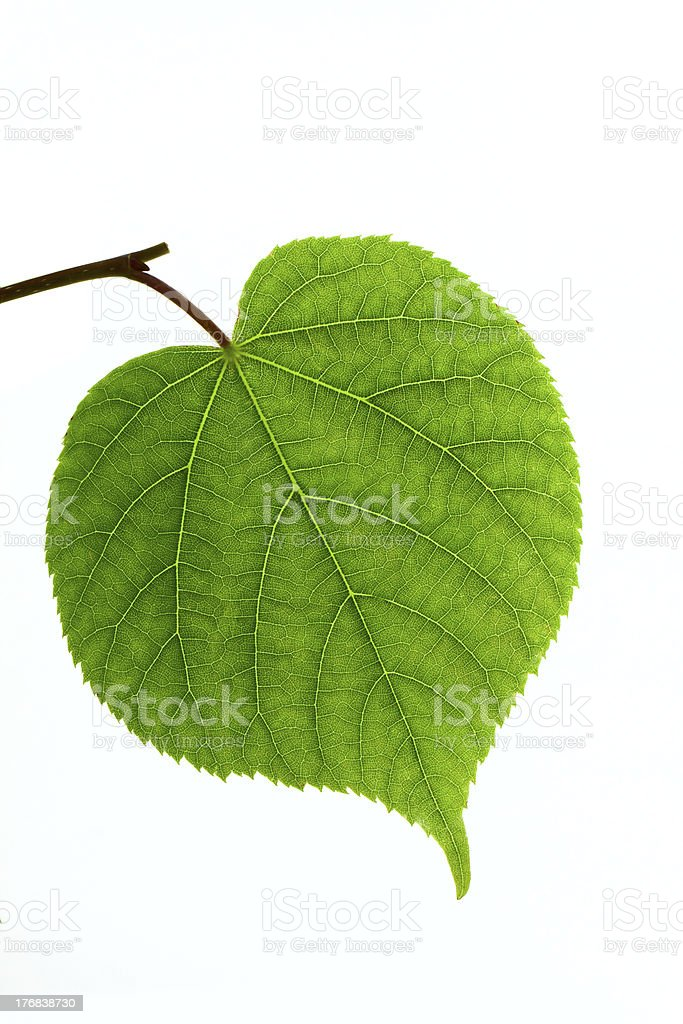 Linden leaf isolated stock photo