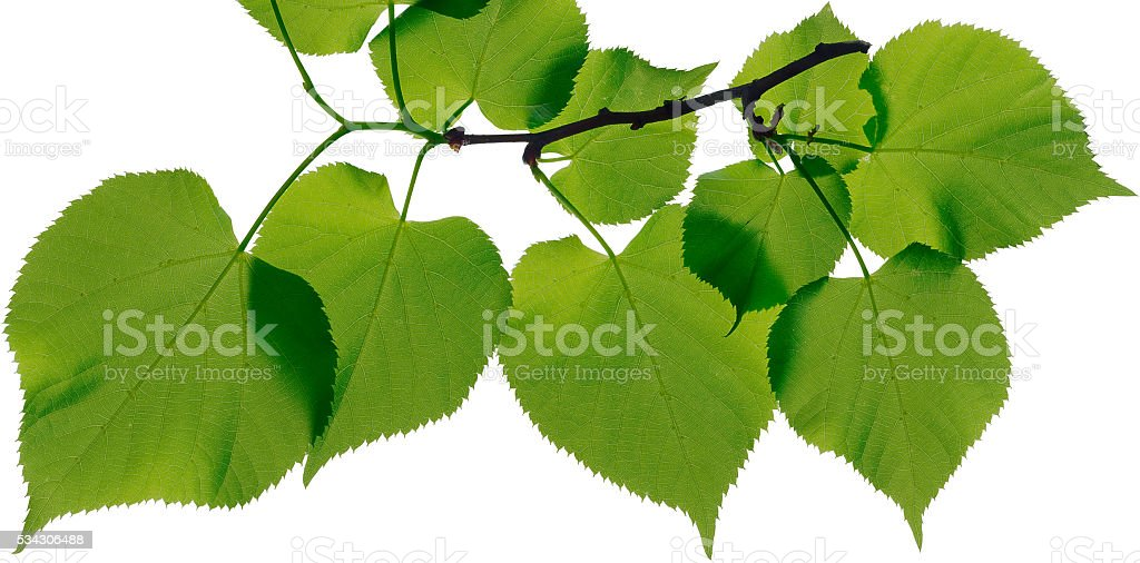 linden leaves isolated on white background Lizenzfreies stock-foto