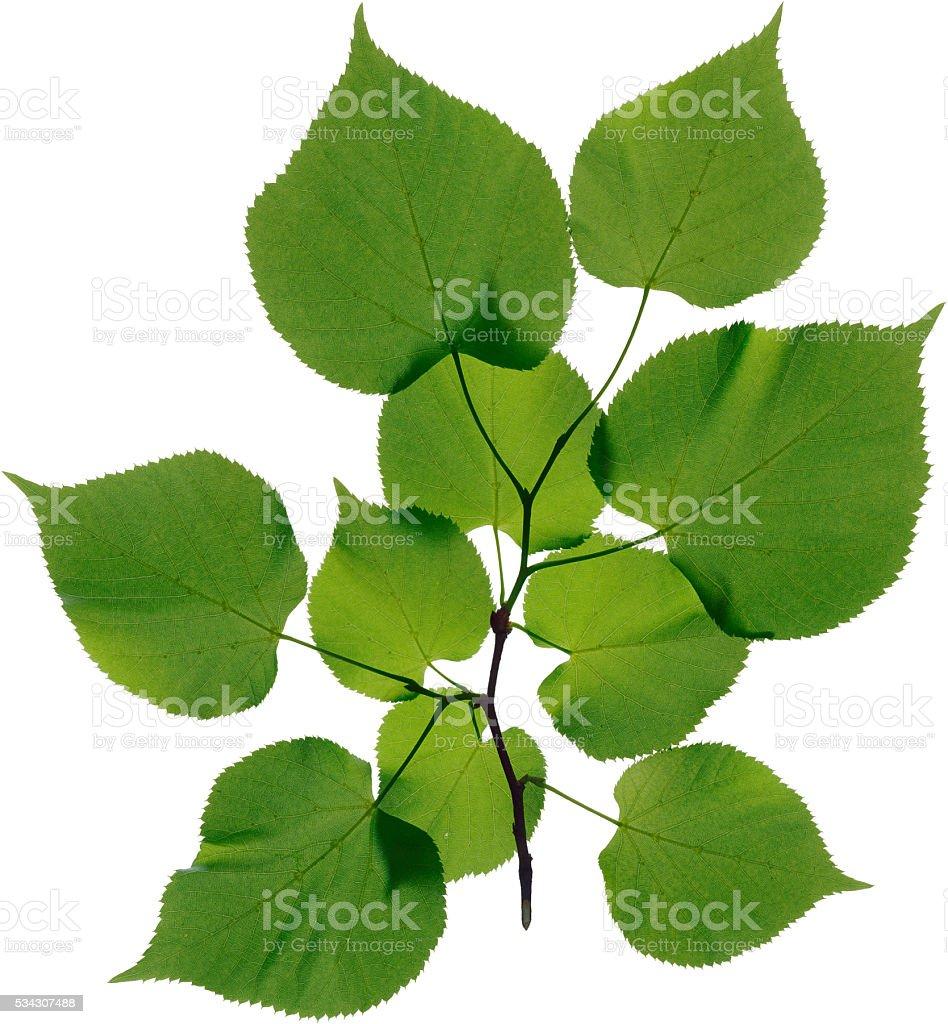 linden leaves isolated on white background Lizenzfreies stock-foto
