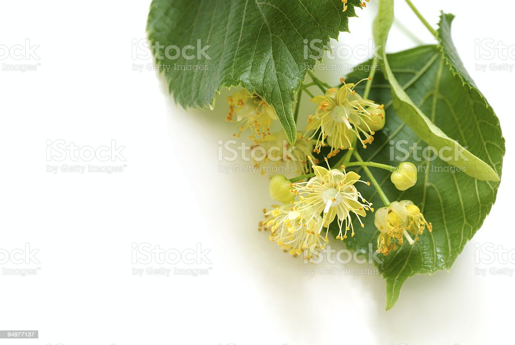 linden leaves royalty-free stock photo