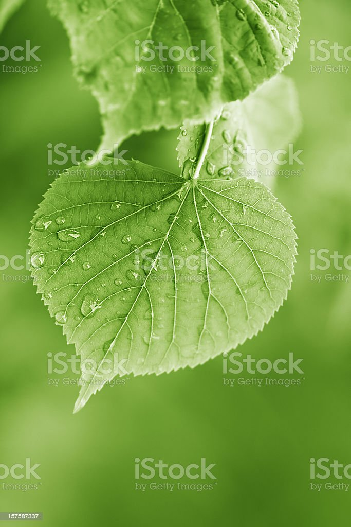 linden leaves with raindrops stock photo