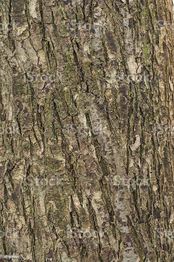Linden tree bark stock photo