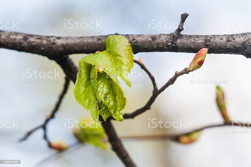 Linden twig, branch with fresh green leaf. Budding, embryonic shoot stock photo