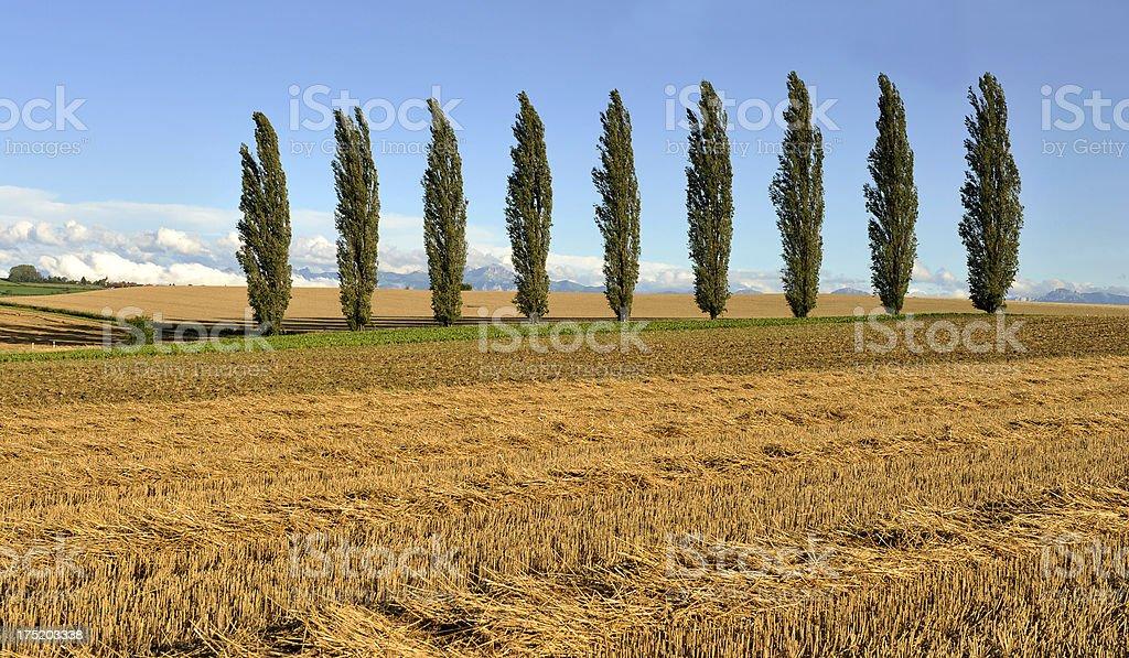 Line of 9 poplar trees in the Canton de Vaud royalty-free stock photo