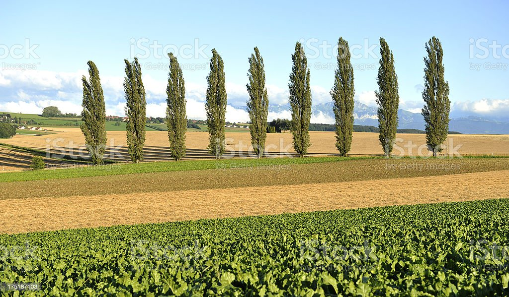Line of 9 poplar trees in the countryside. royalty-free stock photo