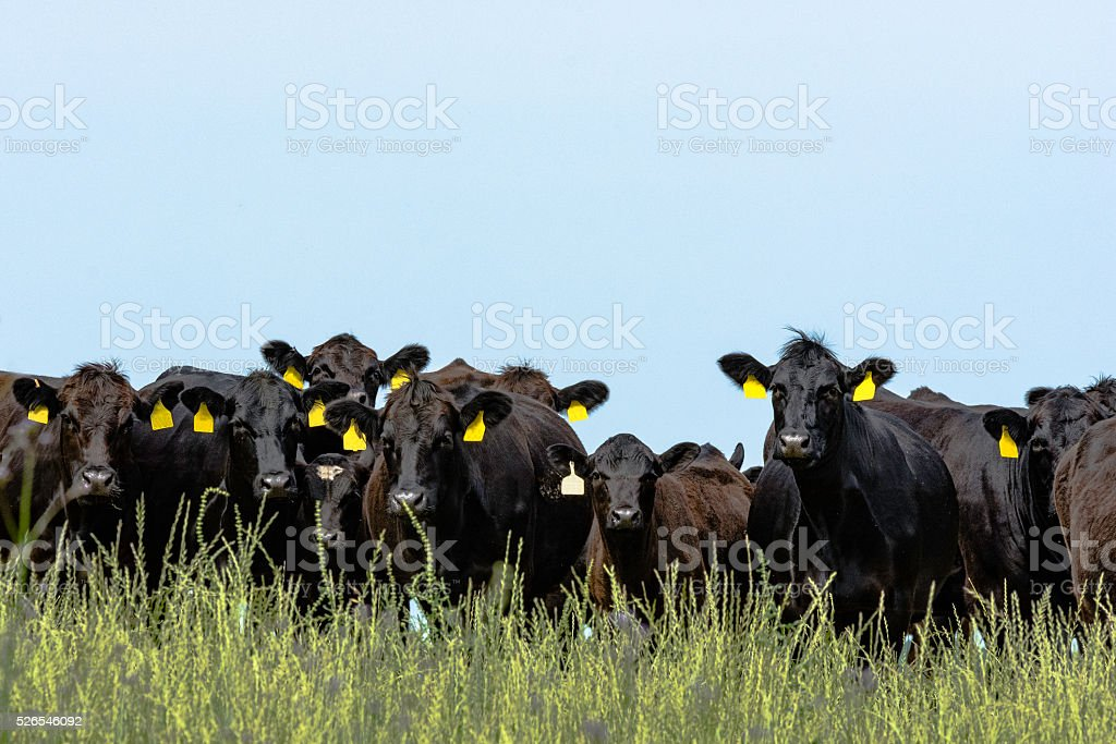 Line of Angus cattle stock photo