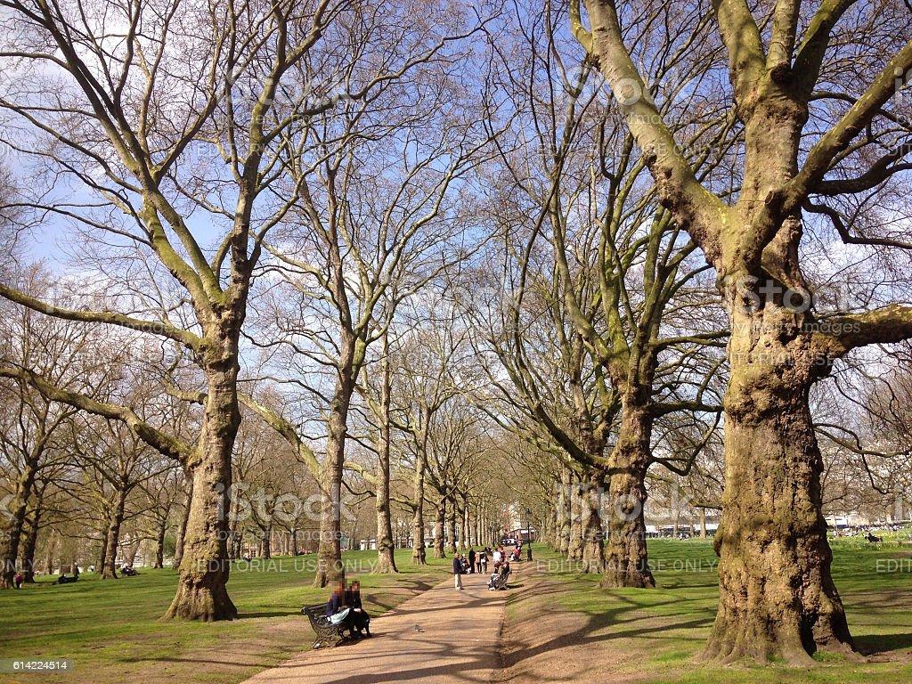 Line of Big Trees stock photo