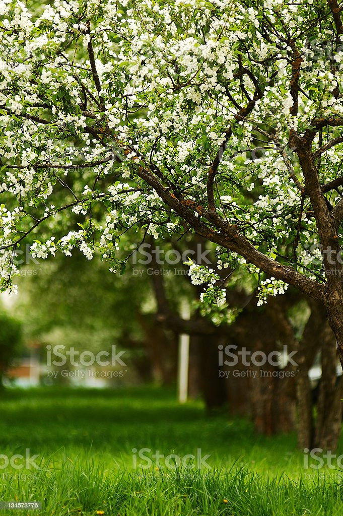 line of blossoming apple trees stock photo