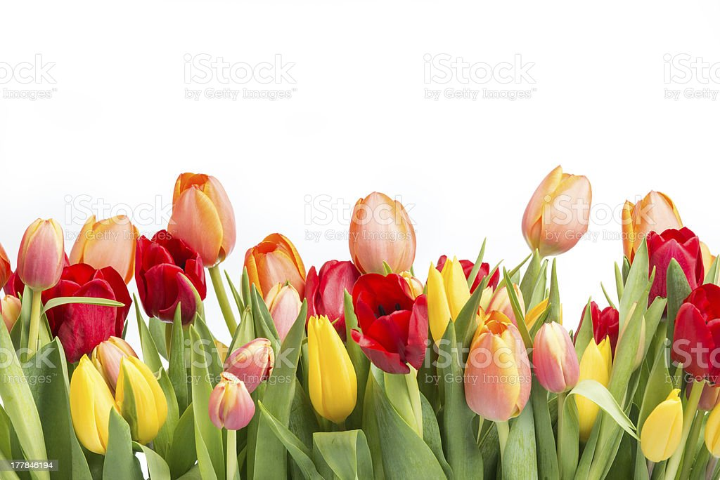 Line of colorful tulips stock photo