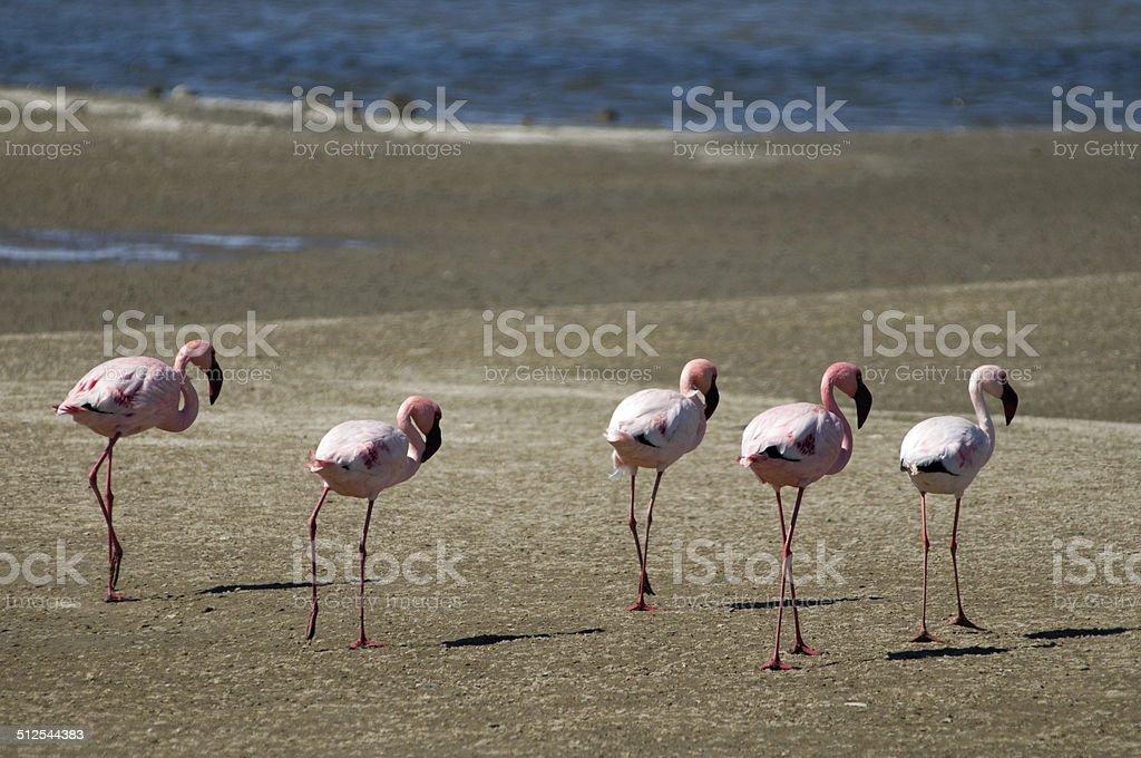 Line of flamingos stock photo