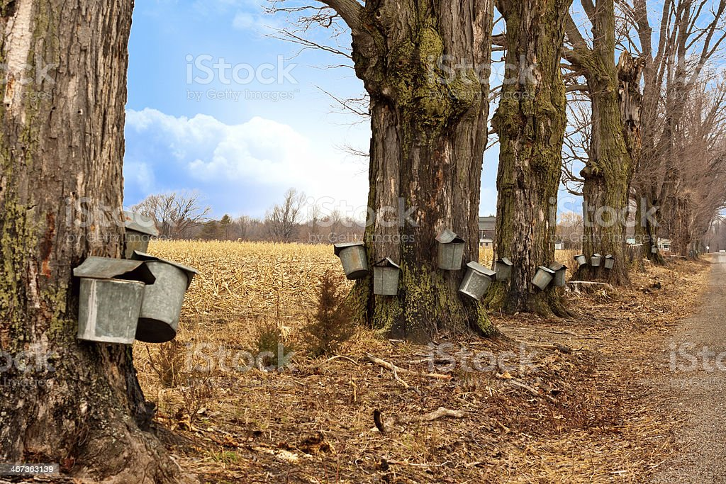 Line of Maple Syrup Buckets stock photo