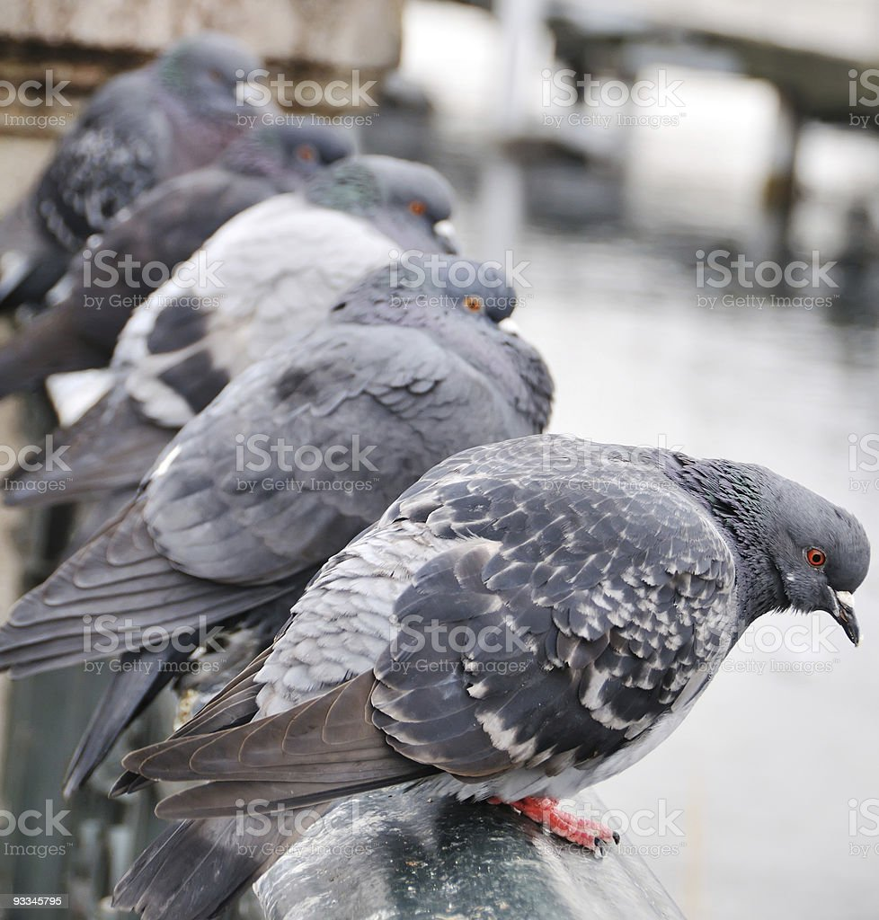 Line of Pigeons royalty-free stock photo