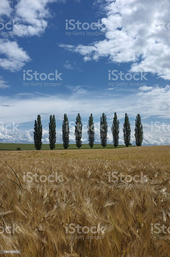 Line of poplars in the countryside royalty-free stock photo