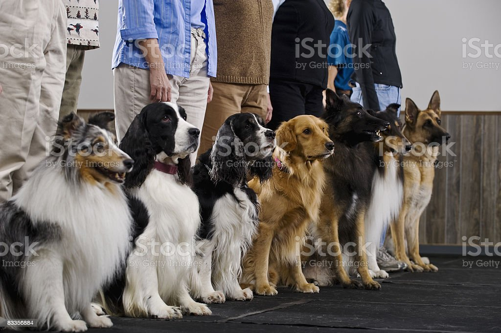 Line of purebred dogs in obiedience class stock photo