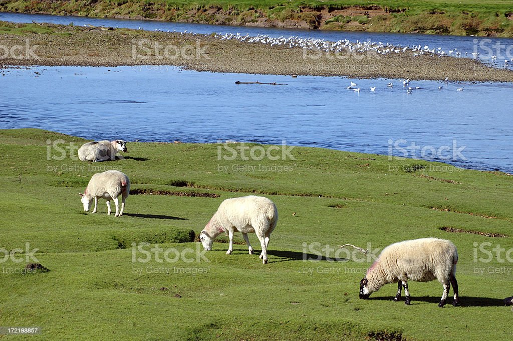 line of sheep royalty-free stock photo