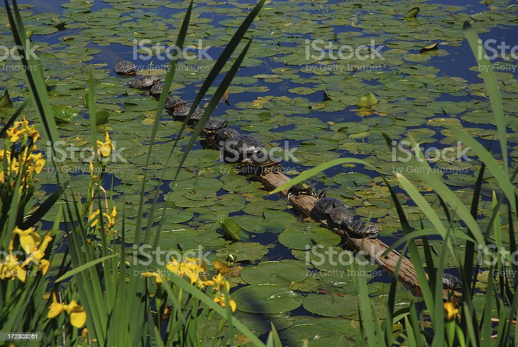 Line of Turtles royalty-free stock photo