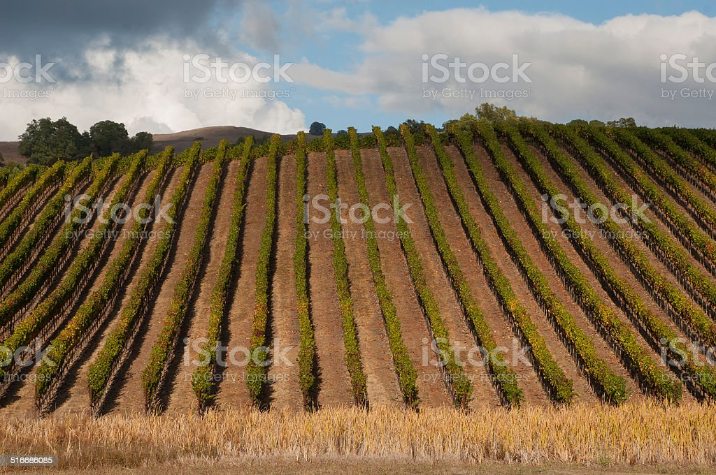 Linear Rows of Vineyards and cloudscape Sonoma County California stock photo