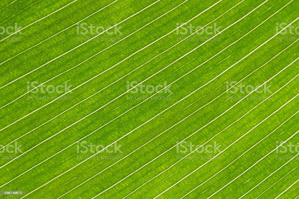 lines and textures of green canna lily leaves royalty-free stock photo