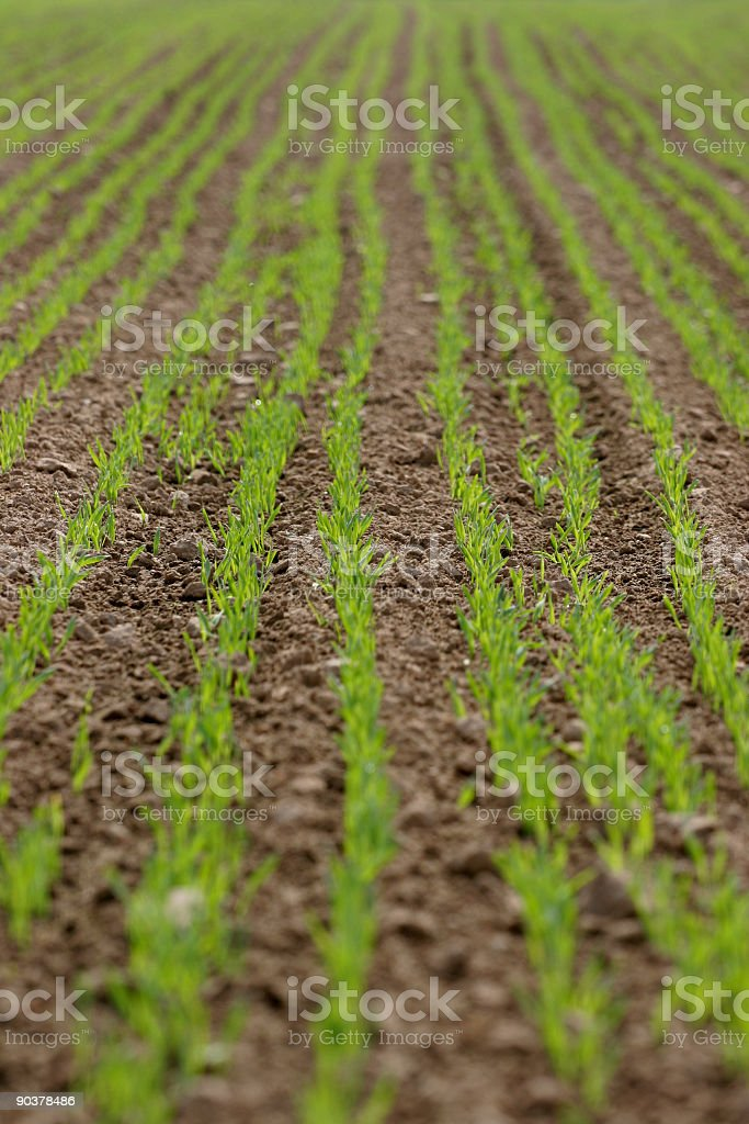 Lines of green sprouts on a field stock photo