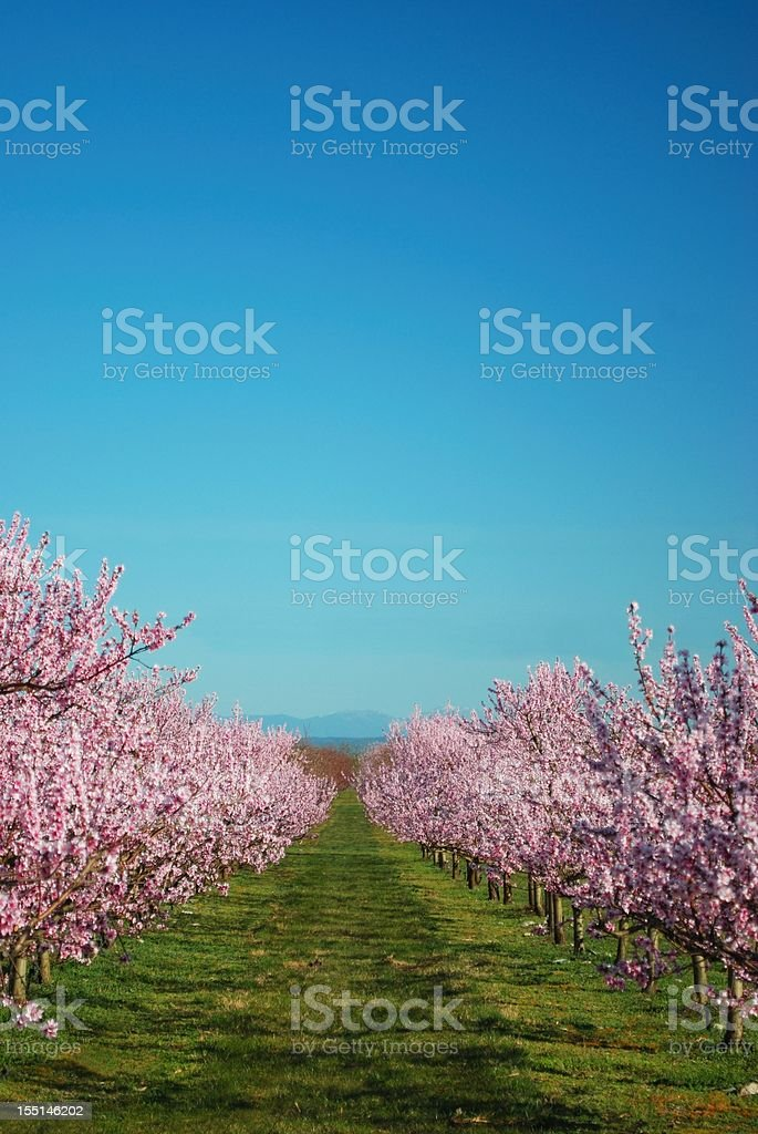 Lines of Peach Trees in Blossom royalty-free stock photo