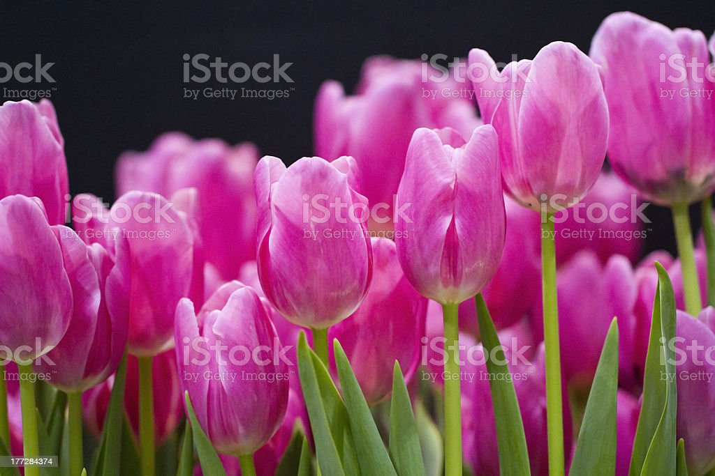 Lineup of bright pink tulips royalty-free stock photo