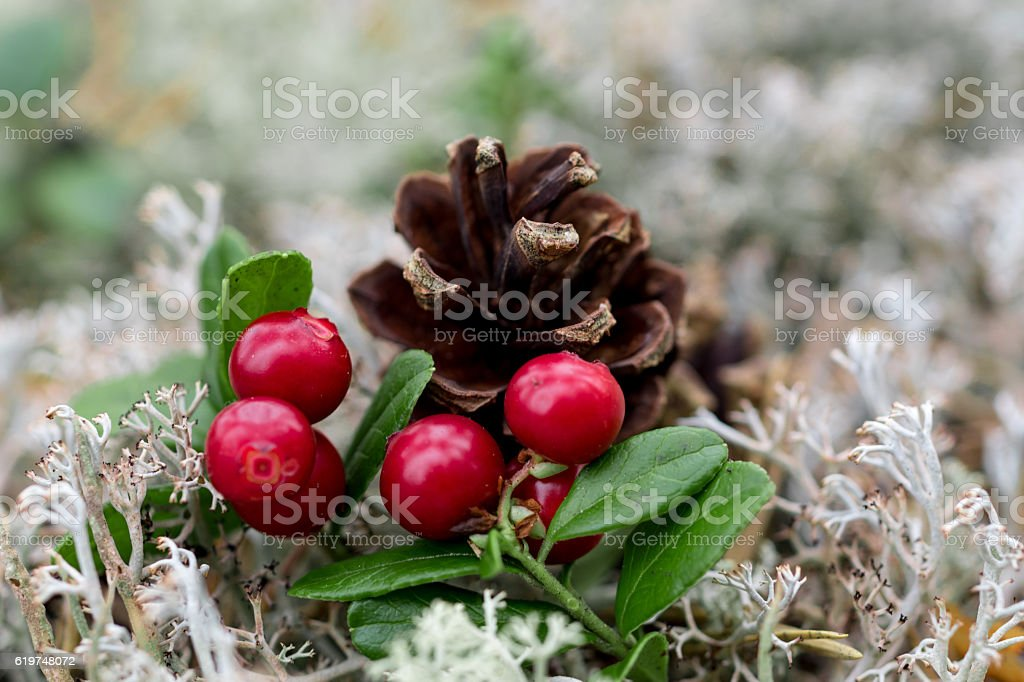 lingon berries stock photo