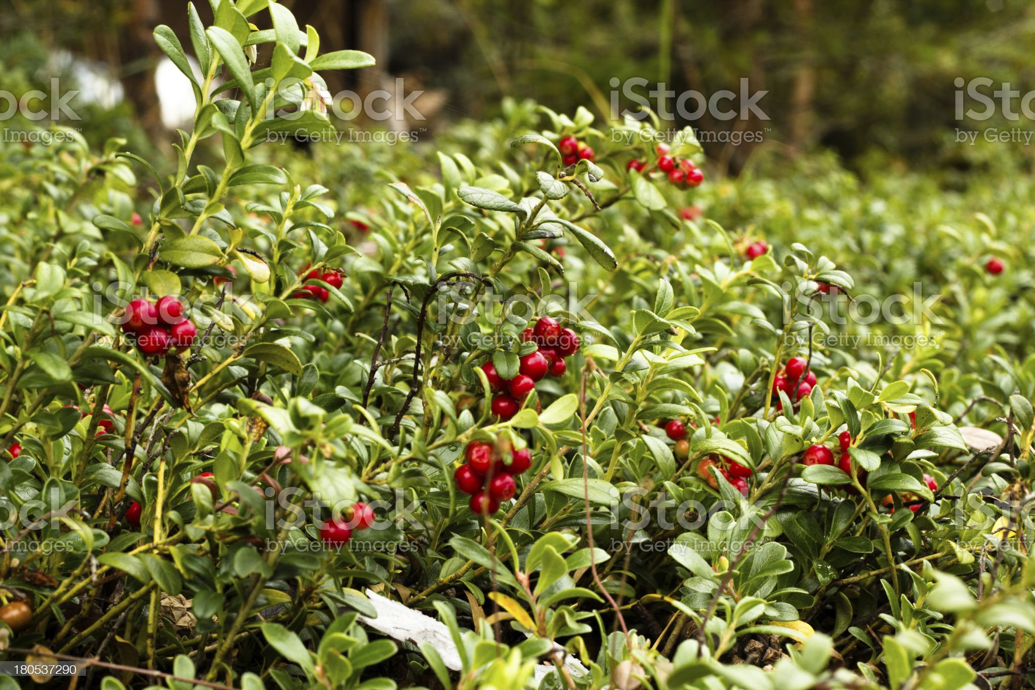 Lingonberries / Cowberries on forest floor royalty-free stock photo