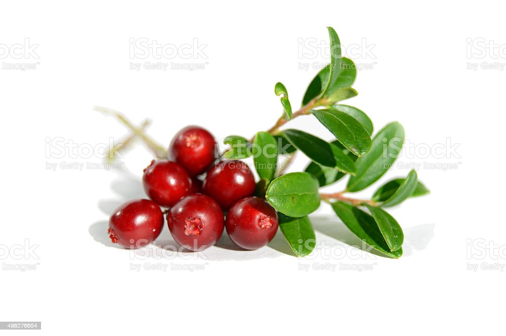 Lingonberry branch stock photo