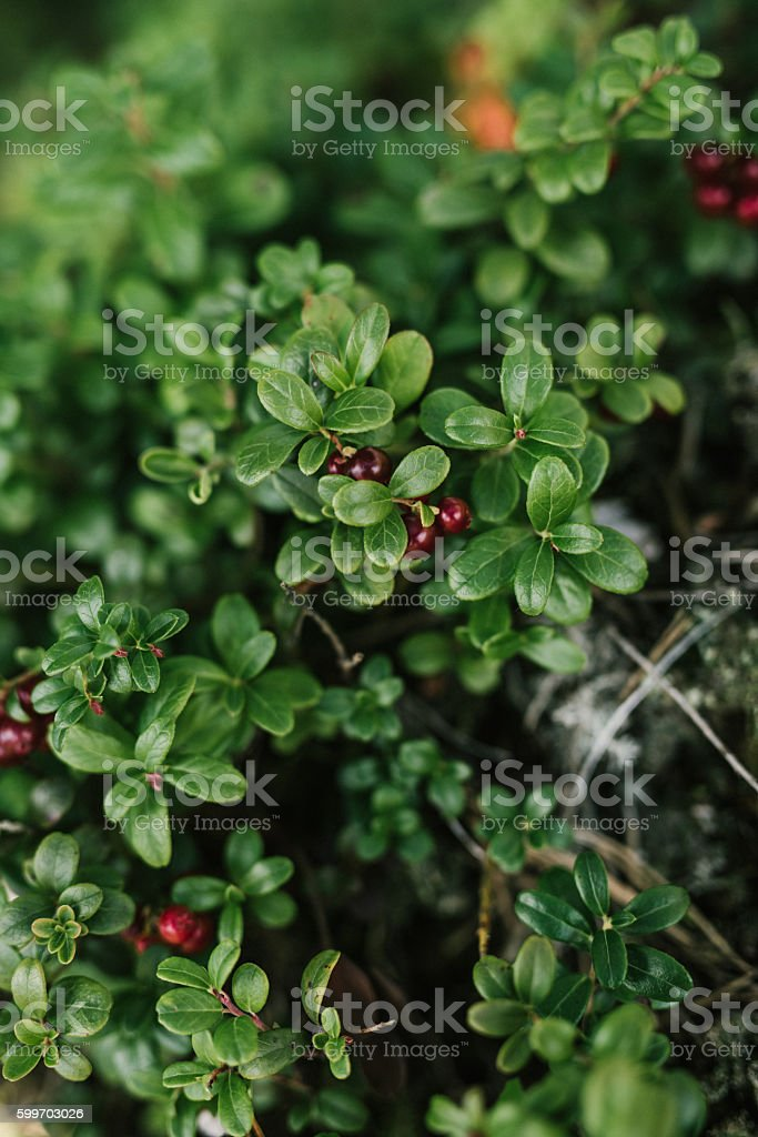 Lingonberry outdoors in nature in autumn fall stock photo