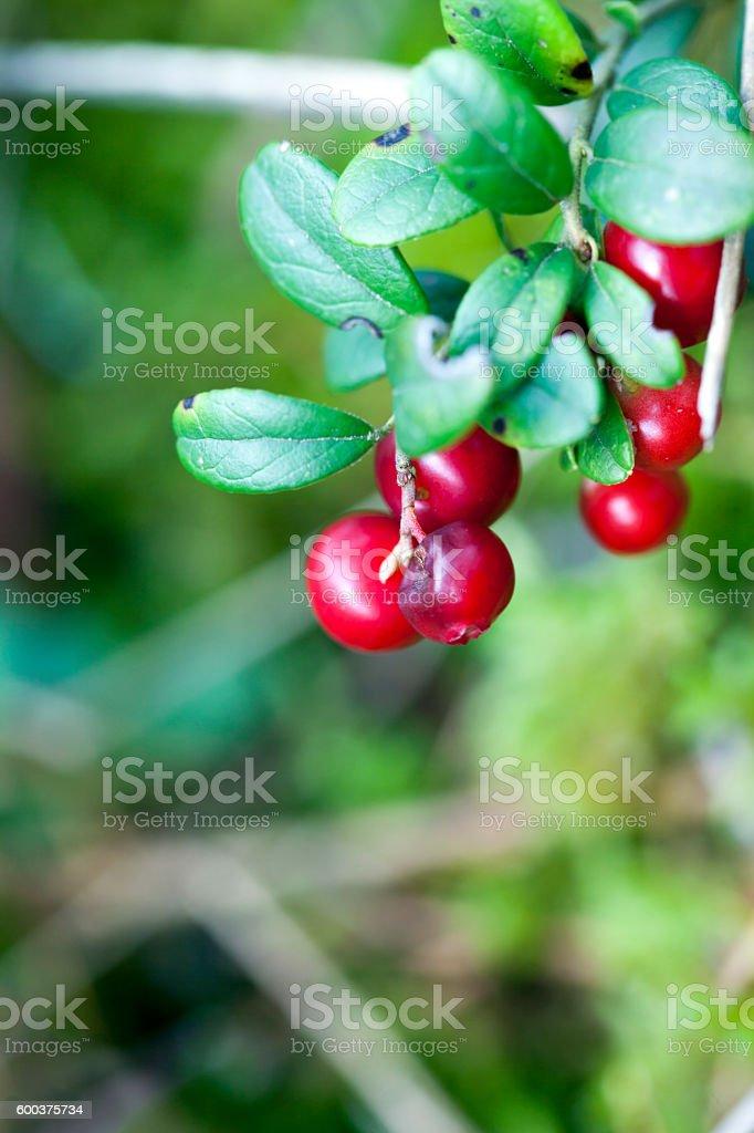 Lingonberry. stock photo