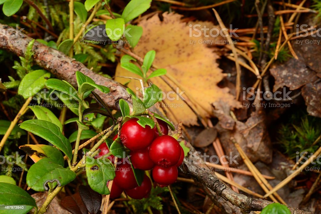 Lingonberry red berries on a branch stock photo