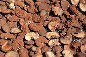 lingzhi mushrooms expose to the sun