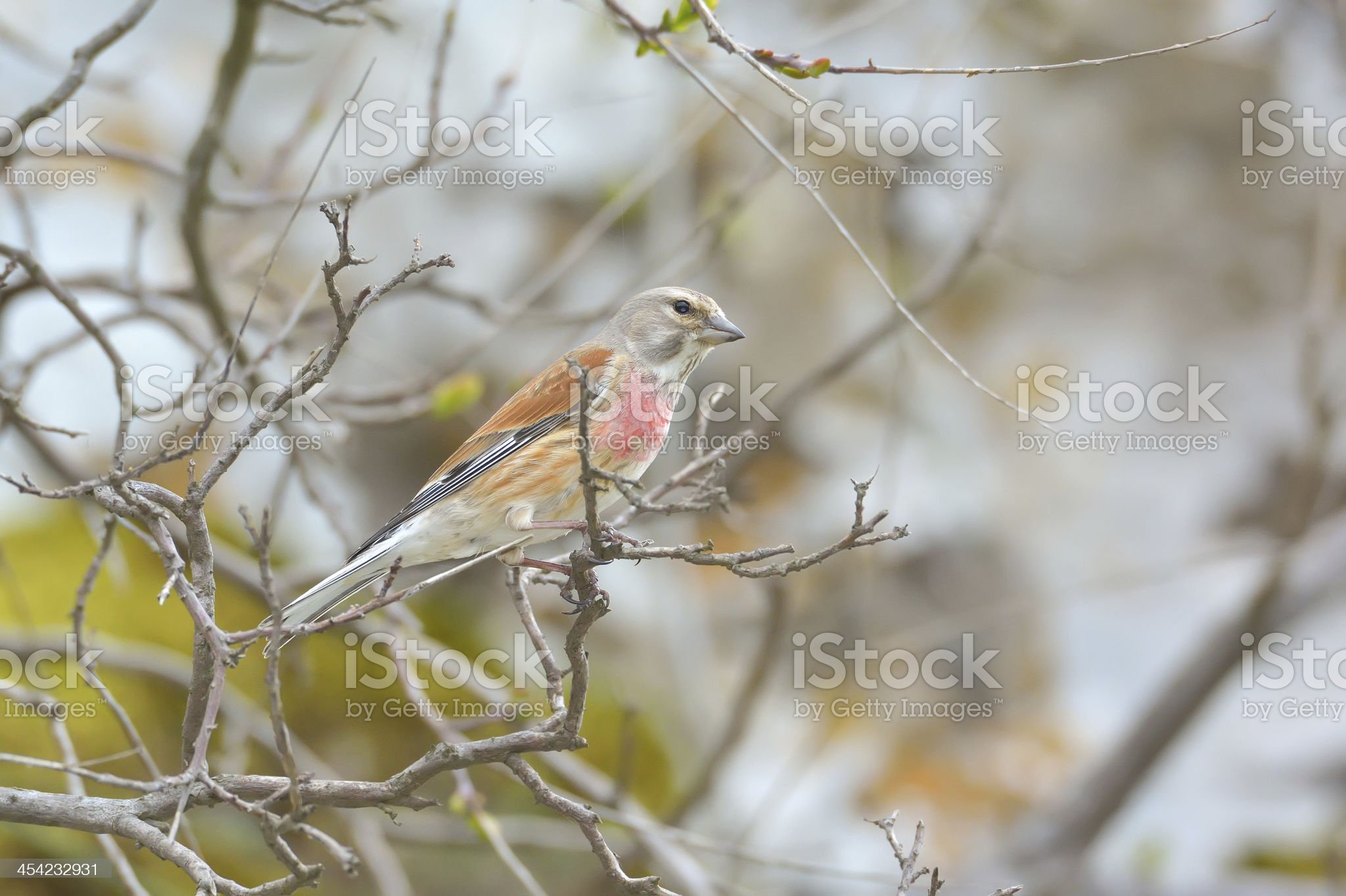 Linnet male (Carduelis cannabina) royalty-free stock photo