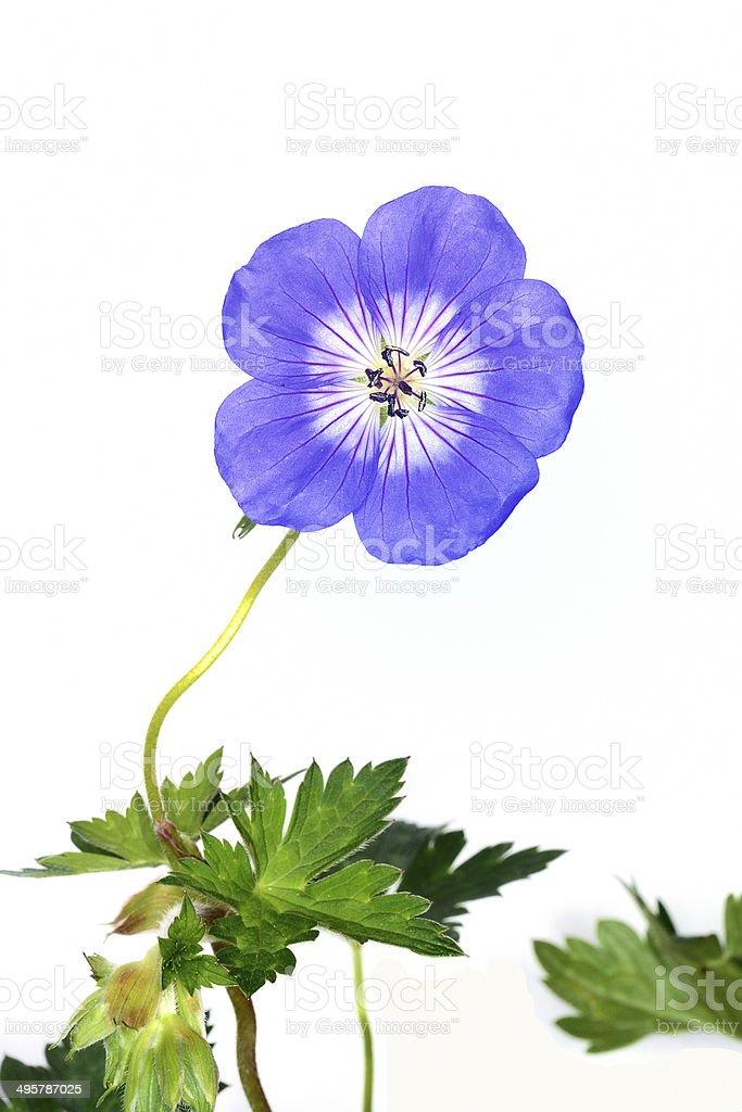 Linum flower stock photo