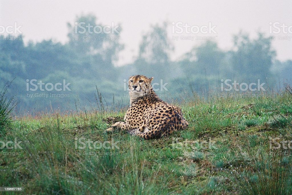 Linx royalty-free stock photo