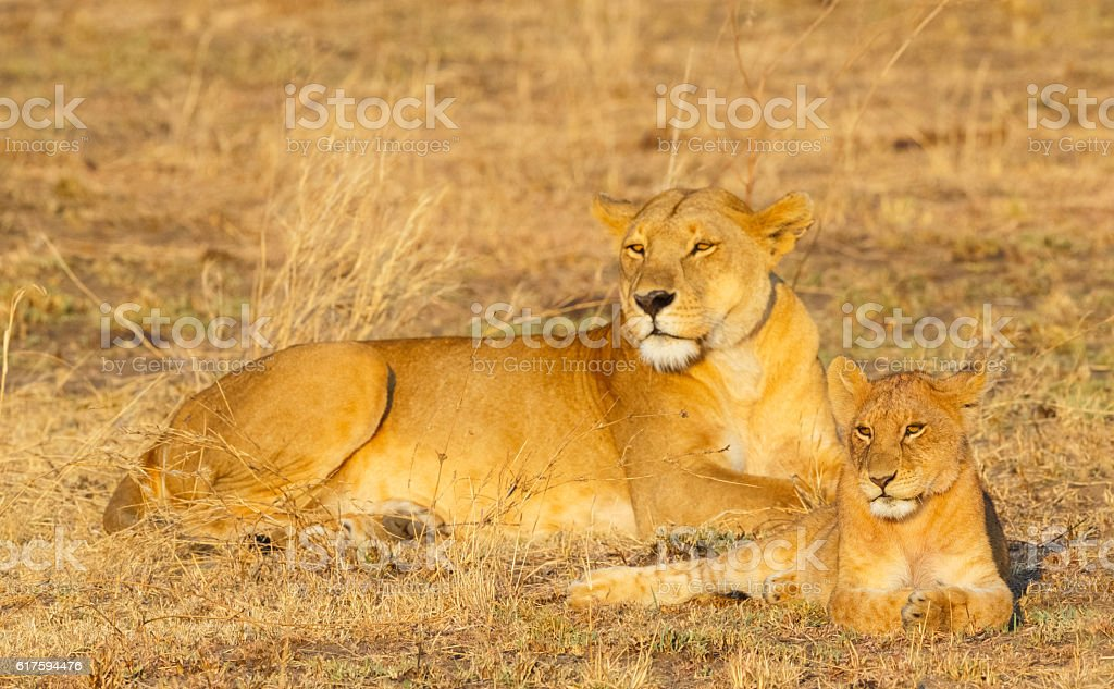 Lion and Cub in Serengeti National Park, Tanzania Africa stock photo