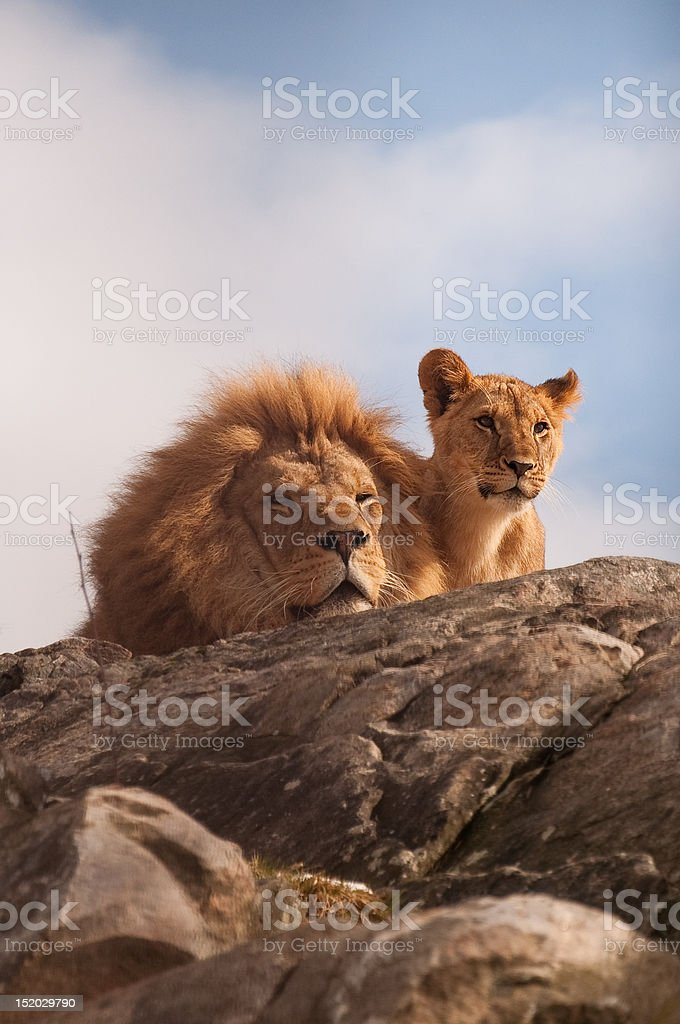 Lion and cub royalty-free stock photo