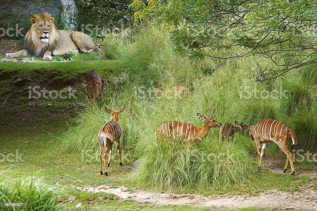 Lion and gazelle stock photo