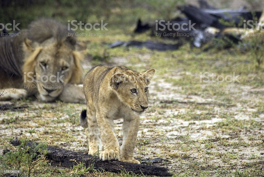 Lion and his cub, Selous National Park, Tanzania royalty-free stock photo