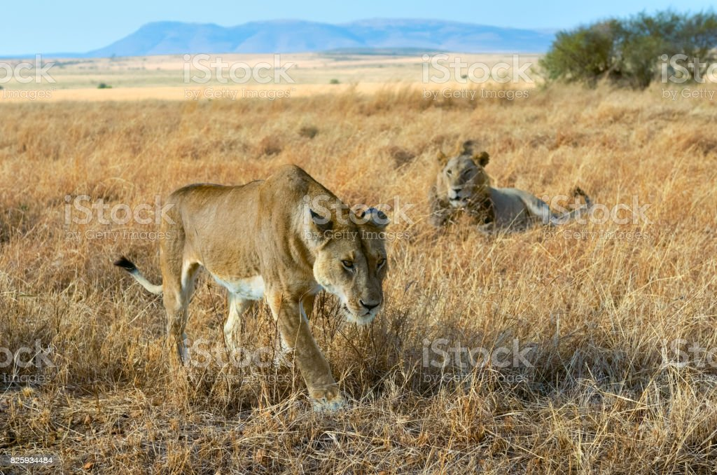 Lion and lioness couple in savannah, Africa, Masai Mara national park in Kenya stock photo
