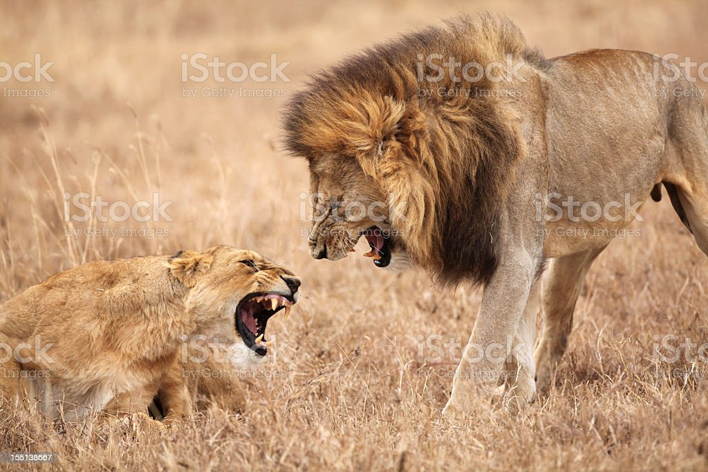 Lion and Lioness Fighting stock photo
