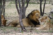 Lion and lioness in the savanna