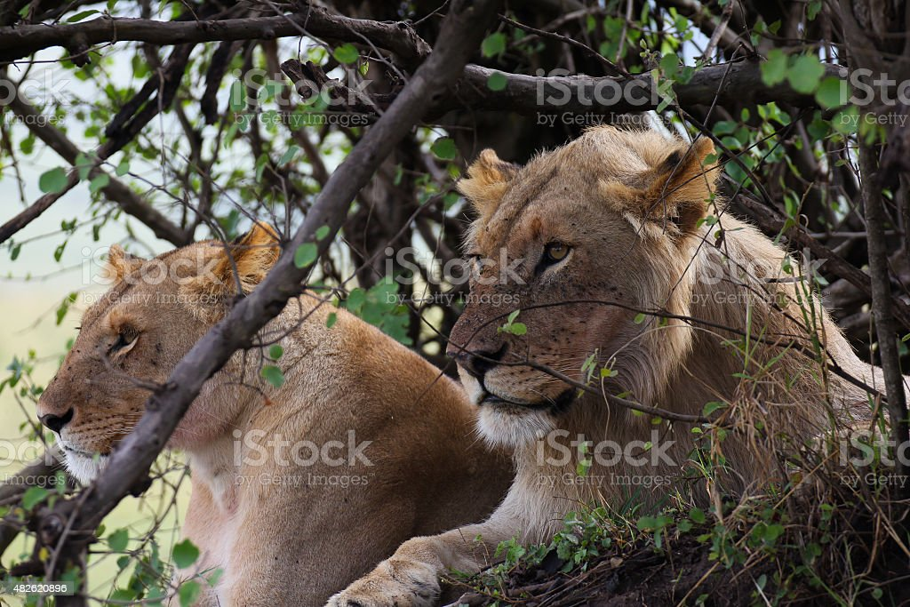 Lion and lioness royalty-free stock photo