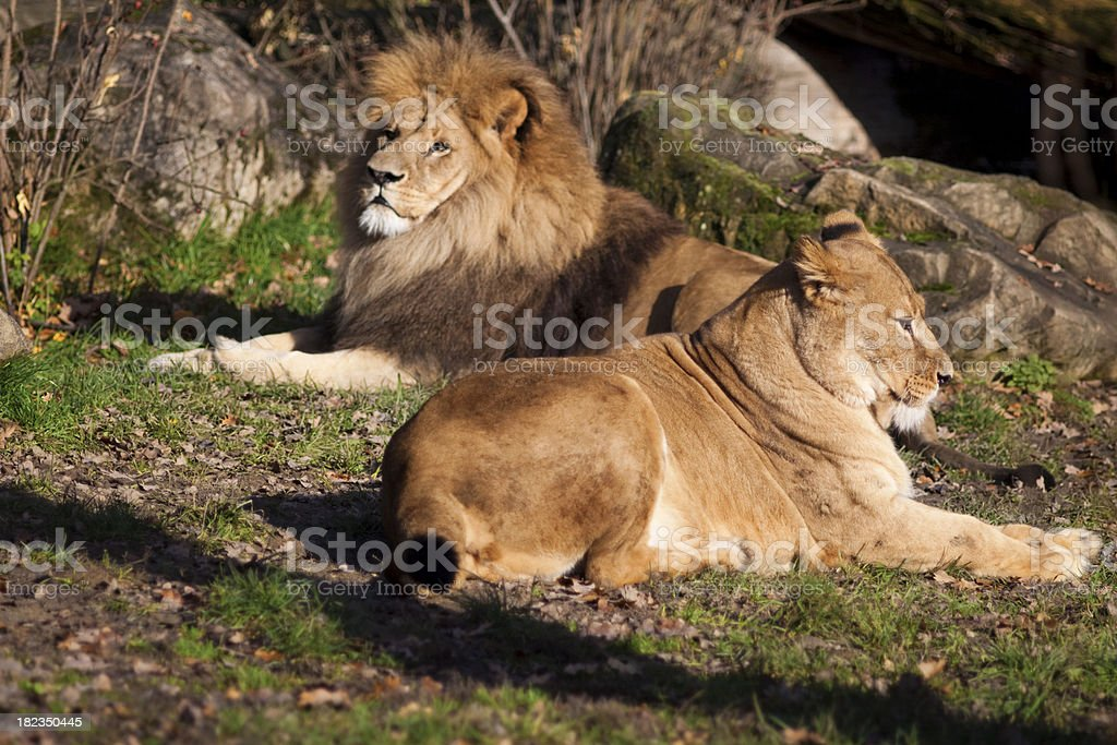Lion and lioness resting in the sun royalty-free stock photo