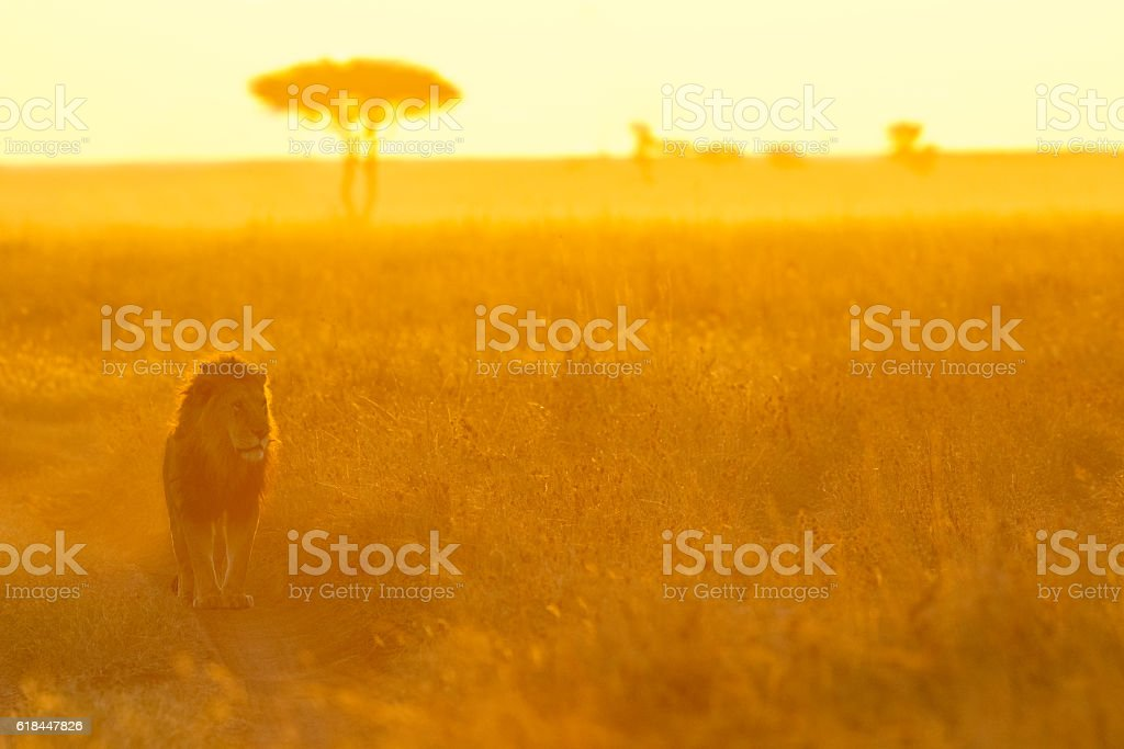 Lion and Morning Light on the Serengeti stock photo