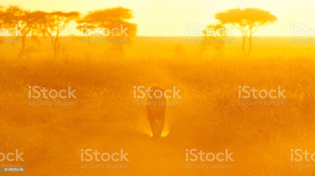 Lion and Morning Light on the Serengeti, Tanzania Africa stock photo