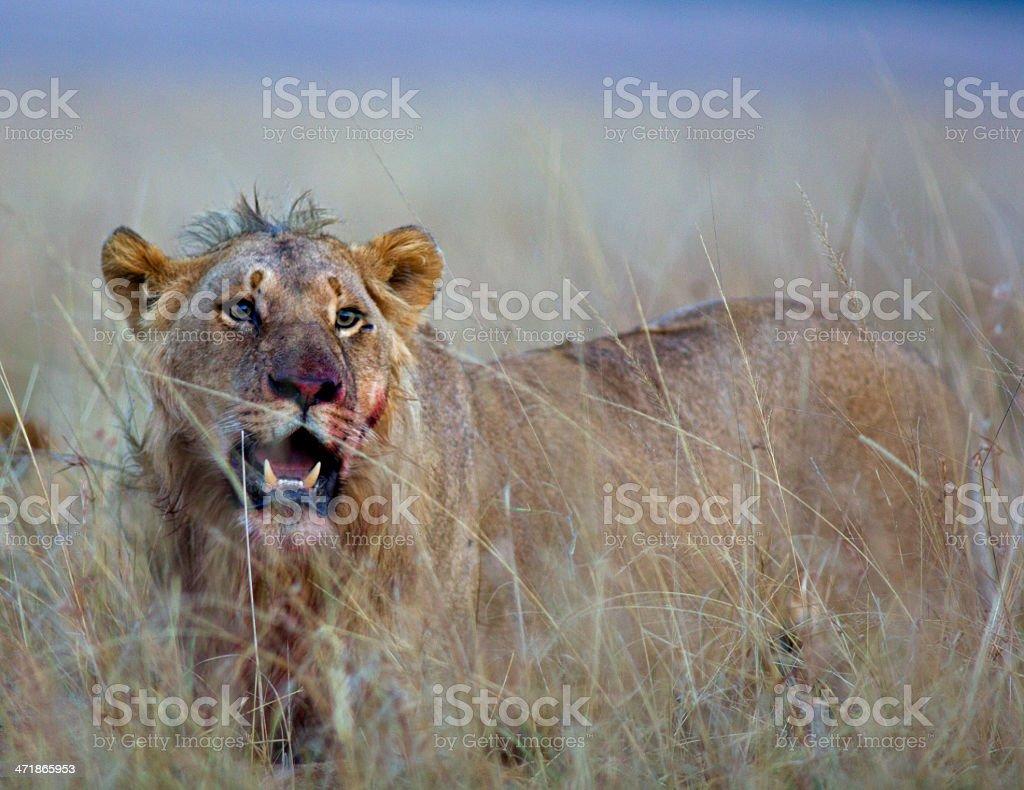 Lion at dawn royalty-free stock photo