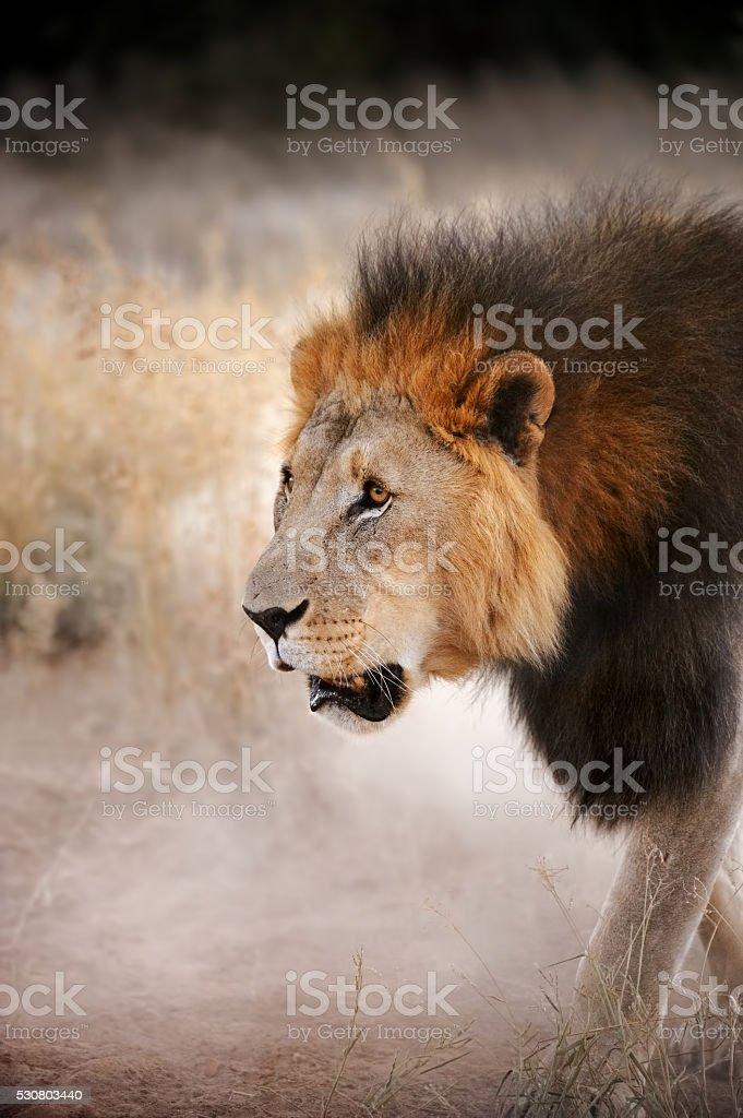lion at dusk stock photo